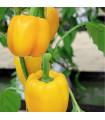 Paprika žltá Baby Bell - Capsicum annuum - semená - 10 ks