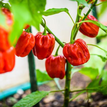 Chilli 7 Pot Douglah Red - Capsicum Chinense - semená - 7 ks