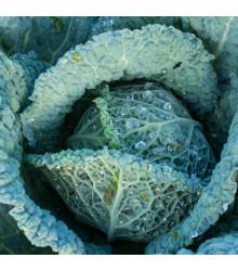 Kel hlávkový neskorý langedijský - Brassica oleracea L. - semená - 160 ks