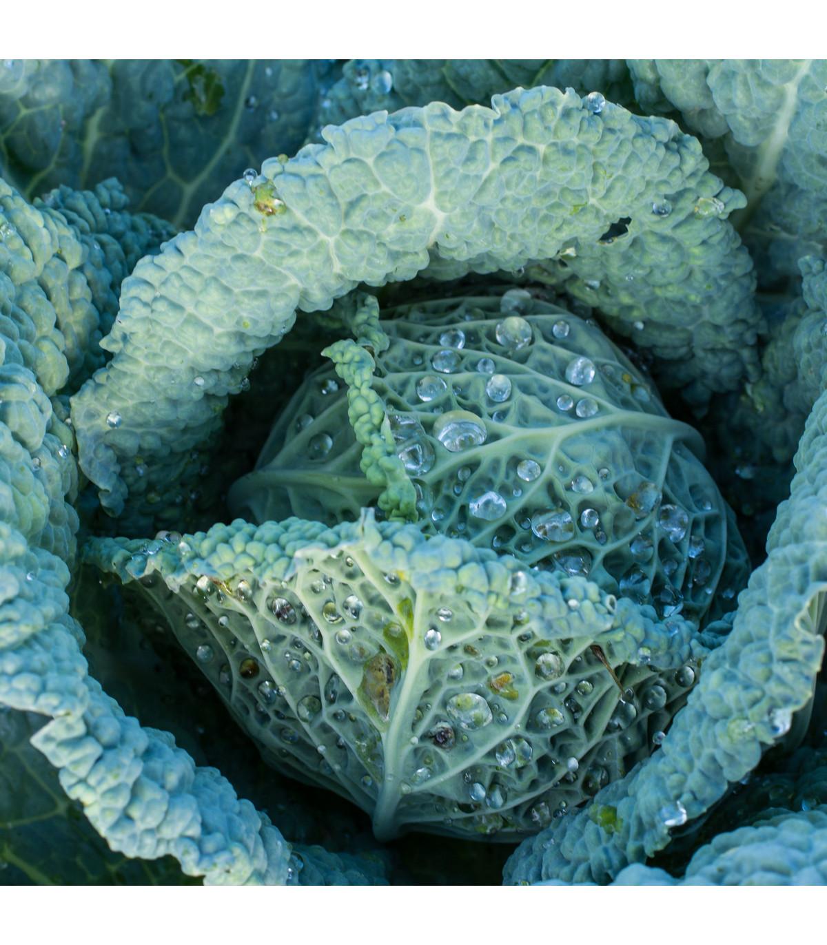 Kapusta hlávková Langedijská - semená - 150 ks
