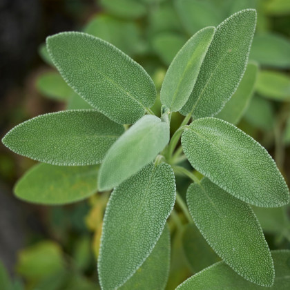 Šalvia lekárska - Salvia officinalis - semená - 20 ks