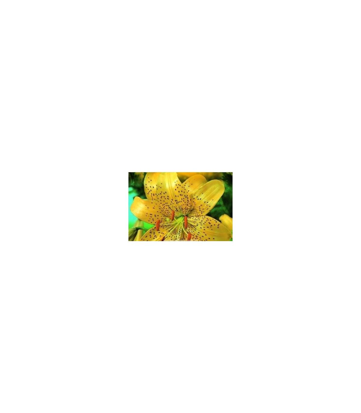Ľalia Citronella-cibule Ľalia-1 ks