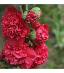 Topoľovka Chaters Scarlet - Alcea rosea - semená topoľovky - 12 ks