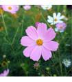 Krasuľka Sonata Pink - Cosmos bipinnatus - semená krasuľky - 15 ks