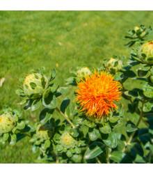 BIO požlt farbiarsky - Carthamus tinctorius - bio semená požlta - 20 ks