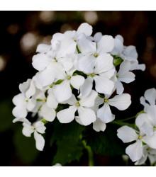 Mesačnica ročná biela - Lunaria annua - semená mesačnice - 40 ks