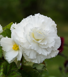 Begónia plnokvetá biela - Begonia superba - cibuľky begónie - 2 ks