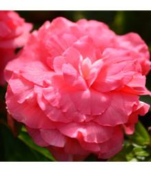 Begónia plnokvetá ružová - Begonia superba - cibuľky begónie - 2 ks