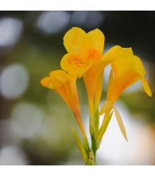 Kana Yellow Humbert - Canna - cibuľky kany - 1 ks