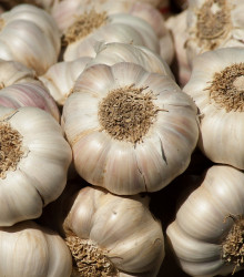 Sadbový cesnak Flavor - nepaličiak - Allium sativum - cibuľky cesnaku - 3 ks