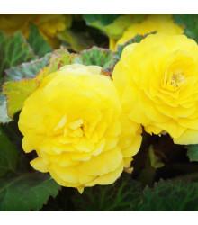 Begónia plnokvetá žltá - Begonia superba - cibuľky begónie - 2 ks