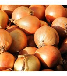 BIO cibuľa šalotka Red Sun jarná - Allium cepa - bio cibuľky šalotky - 12 ks