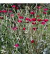 Kukučka vencová - Lychnis coronaria - semená kukučky - 50 ks