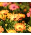Africká sedmokráska Sunset Shades - zmes - Osteospermum - semená africkej sedmokrásky - 6 ks