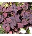 Africká pŕhľava Wizard Black Dragon - Coleus blumei - semená africkej pŕhľavy - 30 ks