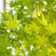 Javor japonský - Acer palmatum - bonsaj - semená javora - 5 ks