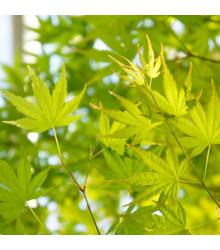 Javor japonský zelený - Acer palmatum - bonsaj - semená javora - 5 ks