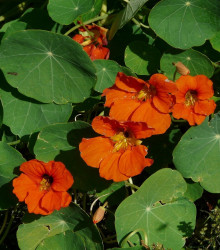 More about Kapucínka väčšia Tom Pouce - Tropaeolum majus - semená kapucínky - 15 ks