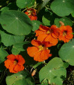 Kapucínka väčšia Tom Pouce - Tropaeolum majus - semená kapucínky - 15 ks