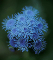 Agerát modrý - Ageratum Aloha Blue - semená ageráta - 20 ks