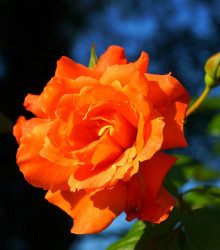 Ruža veľkokvetá kríčková oranžová - Rosa - sadenice ruží - 1 ks