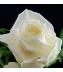 Ruža veľkokvetá popínavá biela - Rosa - sadenice ruží - 1 ks