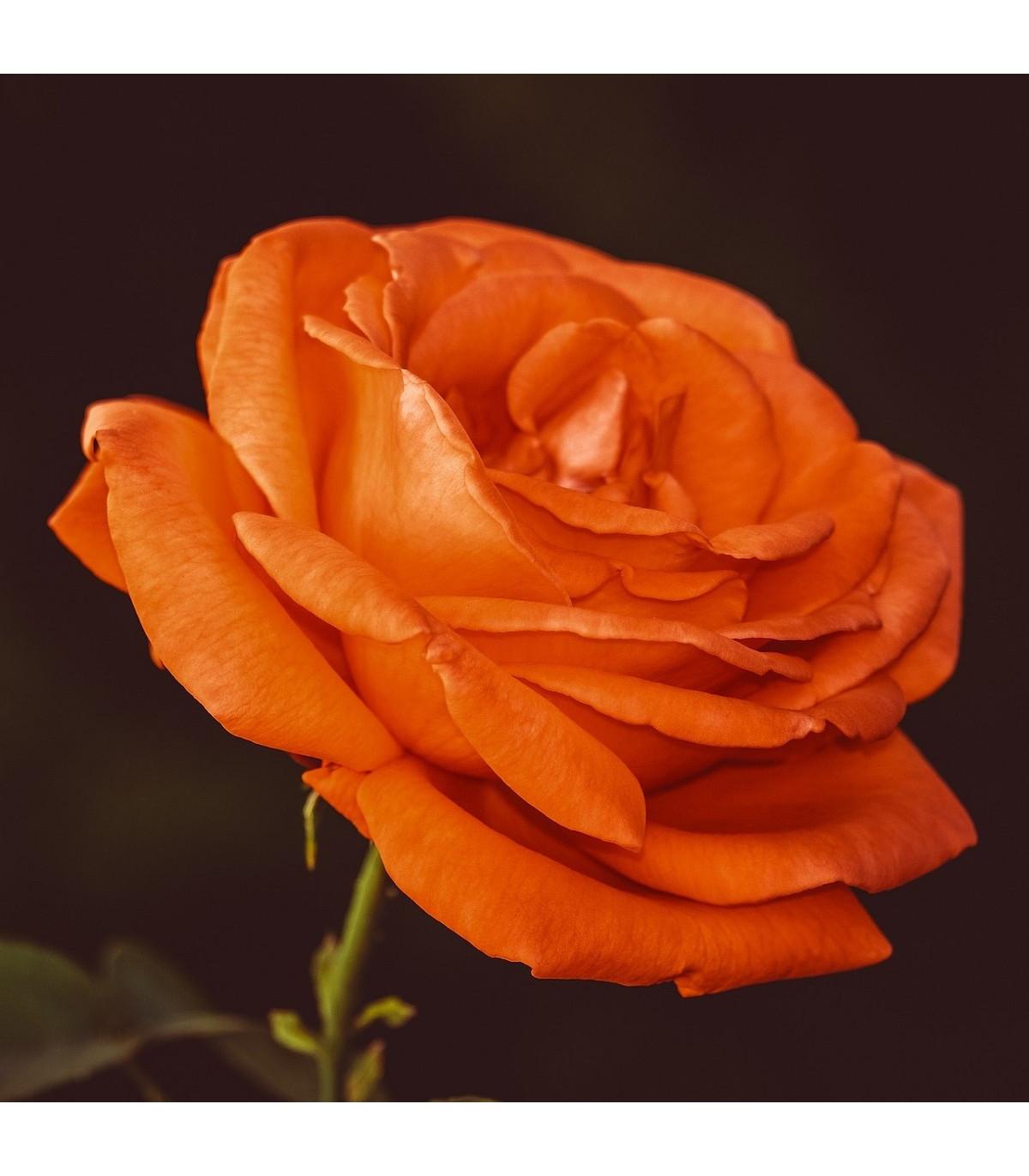 Ruža veľkokvetá popínavá oranžová - Rosa - sadenice ruží - 1 ks