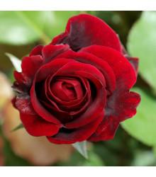 Ruža veľkokvetá popínavá červená - Rosa - sadenice ruží - 1 ks