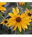 Slnečnica hľuznatá - Helianthus tuberosus - sadenice slnečnice - 1 ks