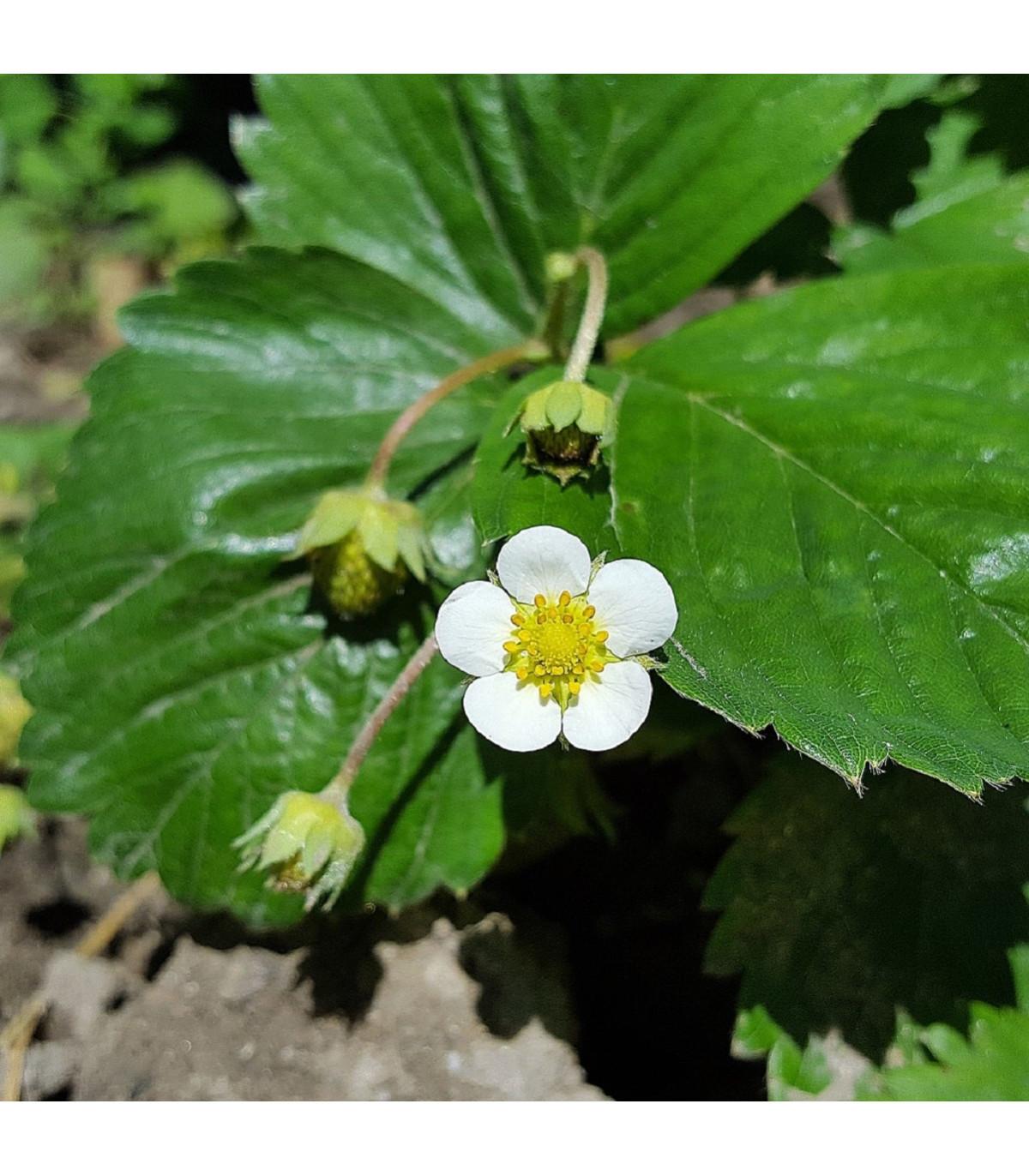 Jahoda Pineberry - Fragaria ananassa - sadenice jahôd - 2 ks