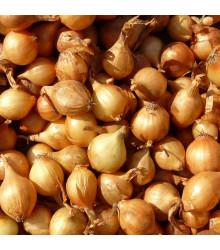 Cibuľa sadzačka Sturon jarná - Allium cepa - cibuľky sadzačky - 100 g