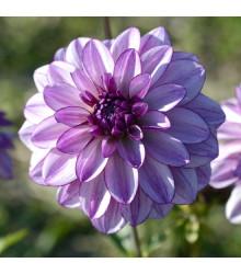 Georgína Lilac Time - Dahlia - cibuľky georgín - 1 ks