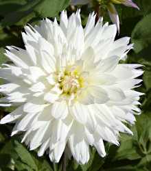 Georgína White Perfection - Dahlia - cibuľky georgín - 1 ks
