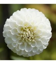 Georgína White Aster - Dahlia - cibuľky georgín - 1 ks