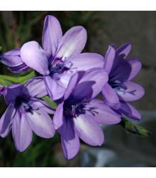 Babiana Kew Hybrids - Babiana stricta - sadenice babiany - 3 ks