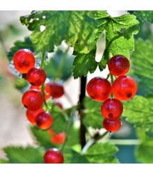 Ríbezľa červená - Ribes sylvestre - sadenice ríbezlí - 1 ks