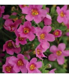 Bakopa Pinktopia - Bacopa sutera cordata - semená bakopy - 7 ks
