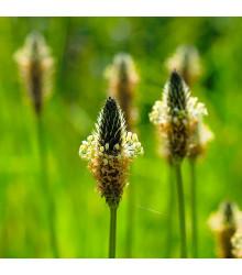 BIO skorocel Minutina - Plantago coronopus - bio semená skorocelu - 0,2 g