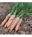Mrkva skorá Stupická - Daucus carota - semená - 1 500 ks