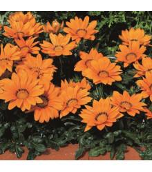Gazánia Kiss Orange F1 - Gazania rigens - semená gazánie - 12 ks