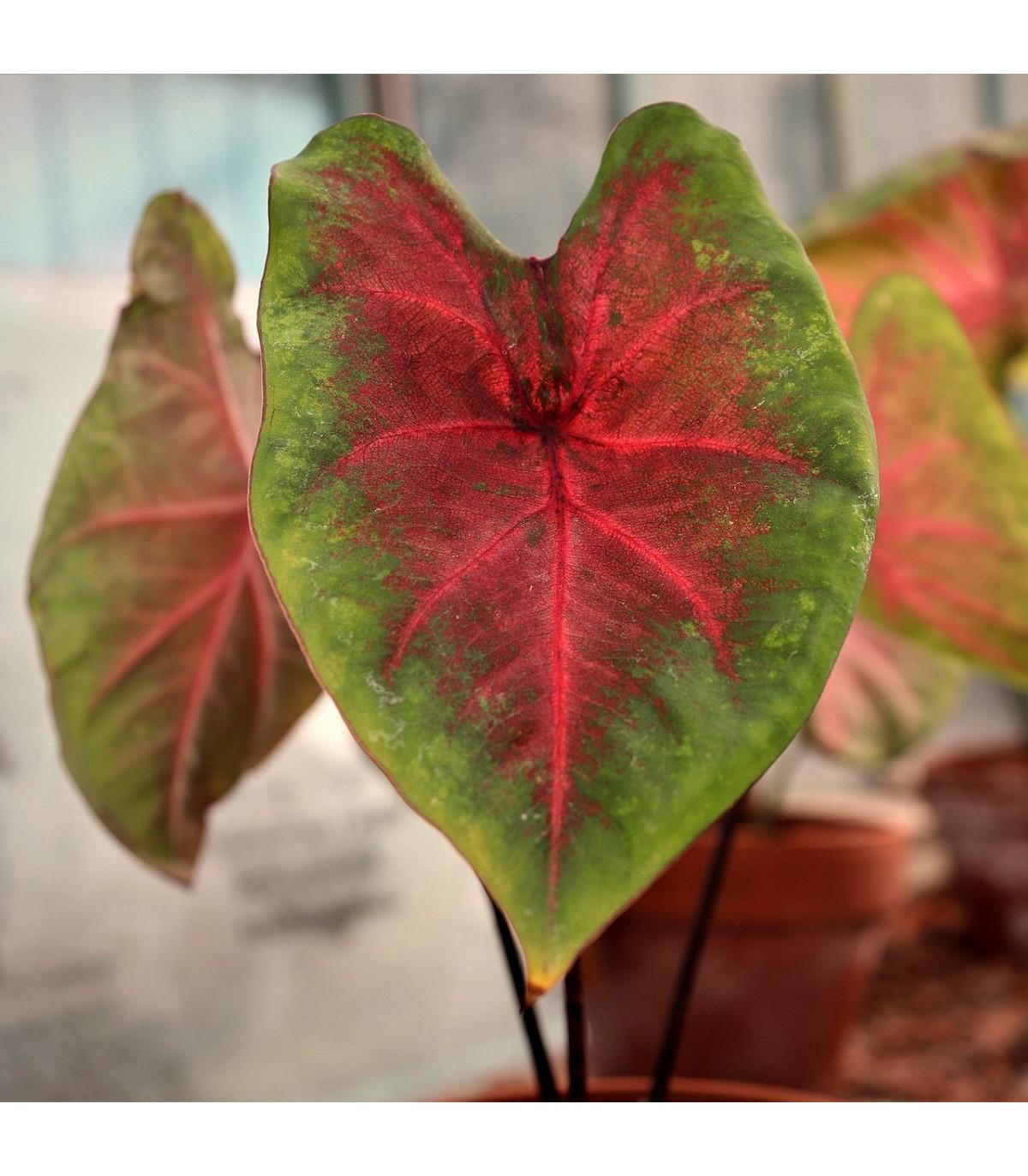 Kaládium Red Fresh - Caladium bicolor - cibuľky kaládie - 1 ks