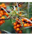 Rakytník rešetliakovitý - Hippophae rhamnoides - semená - 8 ks