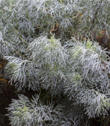 BIO Palina pravá - Artemisia absinthum - bio semená paliny - 0,02 g
