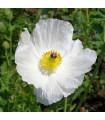 BIO Argemon - mexický mak - Argemone platyceras - bio semená argemonu - 50 ks