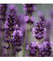 Levanduľa francúzska - Bandera Purple - Lavandula stoechas - semená levandule - 20 ks