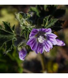 Slez lesný - Malva sylvestris - semená slezu - 10 ks