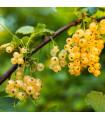 Ríbezľa biela - Ribes sylvestre - sadenice ríbezlí - 1 ks