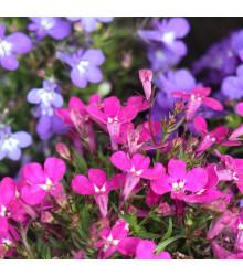 More about Lobelka drobná Riviera Rose - Lobelia erinus - semená lobelky - 0,1 g