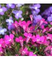 Lobelka drobná Riviera Rose - Lobelia erinus - semená lobelky - 0,1 g