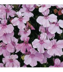 Lobelka drobná Riviera Lilac - Lobelia erinus - semená lobelky - 0,1 g